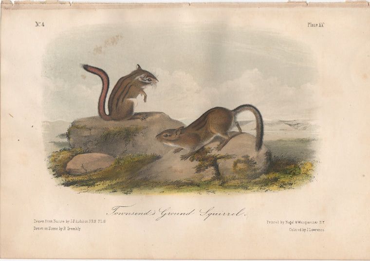 Audubon Original Octavo Mammal, Townsend's Ground Squirrel, plate 20