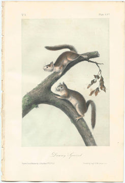 Audubon Original Octavo Mammal, Downy Squirrel, plate 25