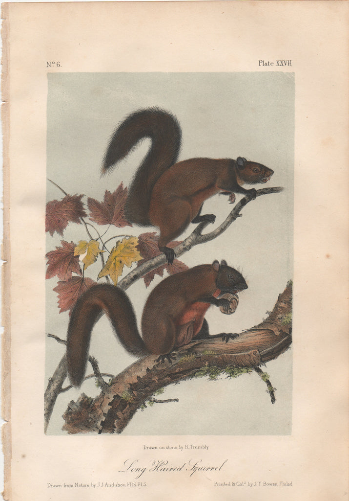Audubon Original Octavo Mammal, Long Haired Squirrel, plate 27