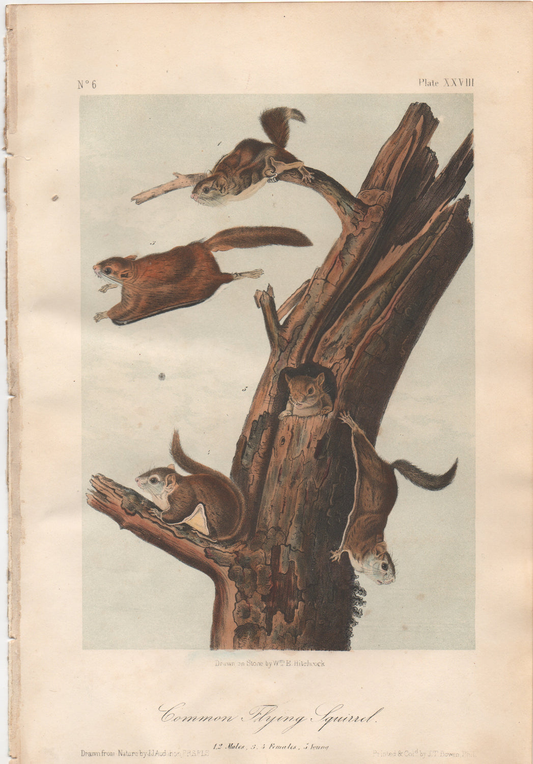 Audubon Original Octavo Mammal, Common Flying Squirrel, plate 28