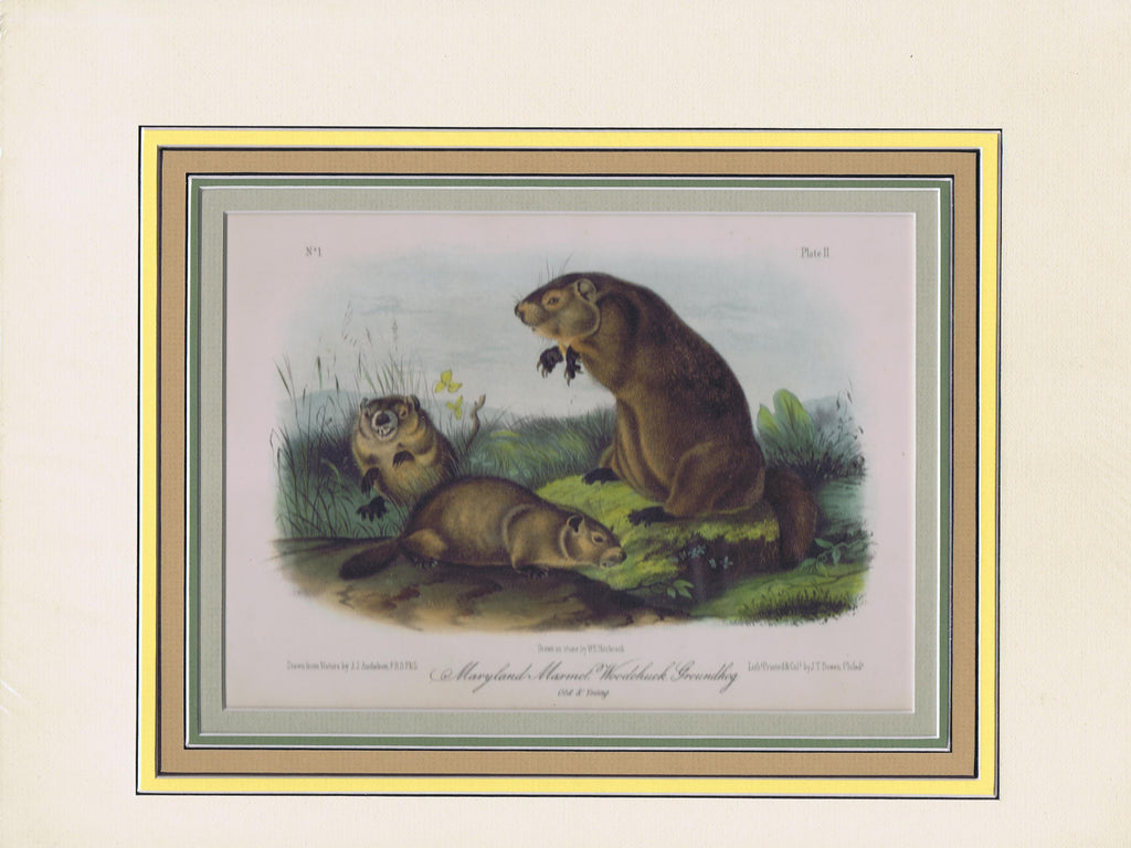 Original Audubon Octavo Quadruped Matted, Maryland Woodchuck, plate 2