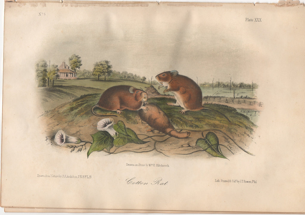Audubon Original Octavo Mammal, Cotton Rat, plate 30