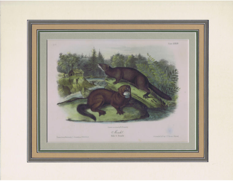 Original Audubon Octavo Quadruped Matted, Mink, plate 33