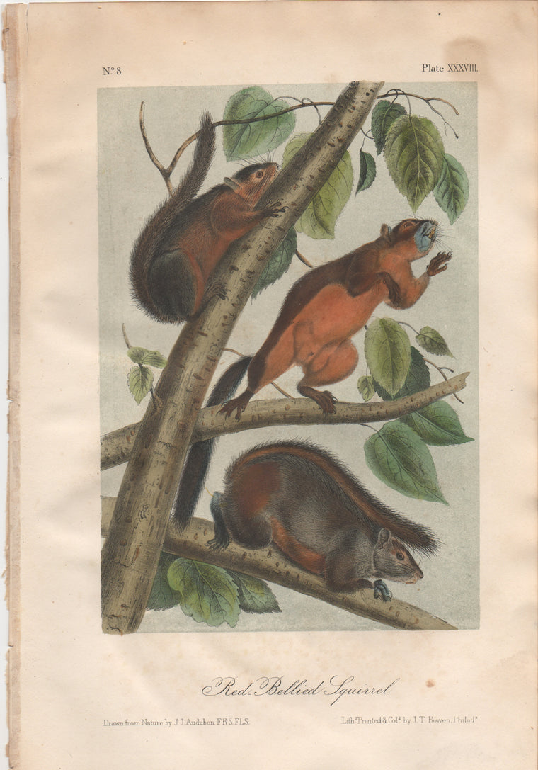 Audubon Original Octavo Mammal, Red-bellied Squirrel, plate 38