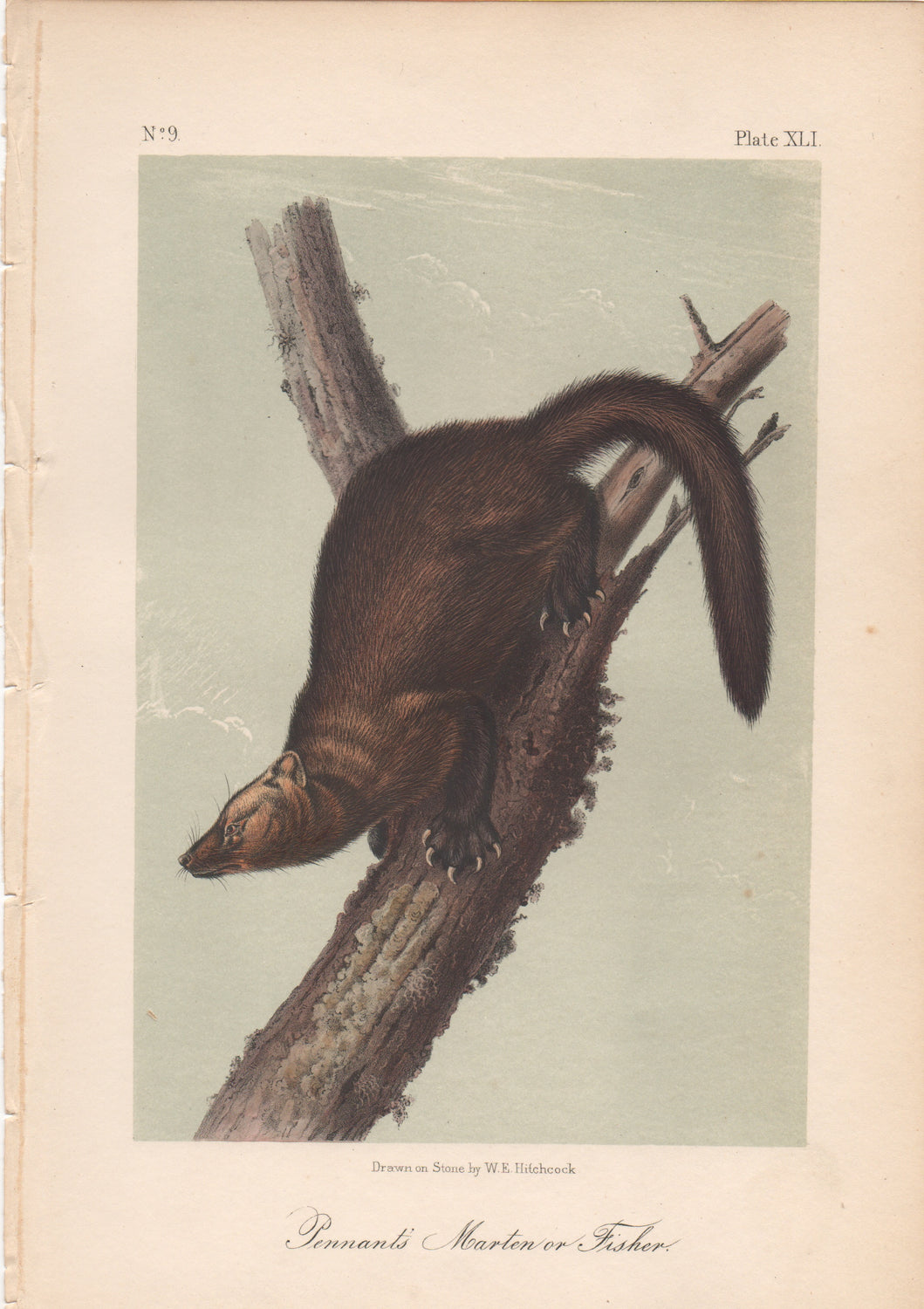 Audubon Original Octavo Mammal, Pennants's Marten or Fisher plate 41