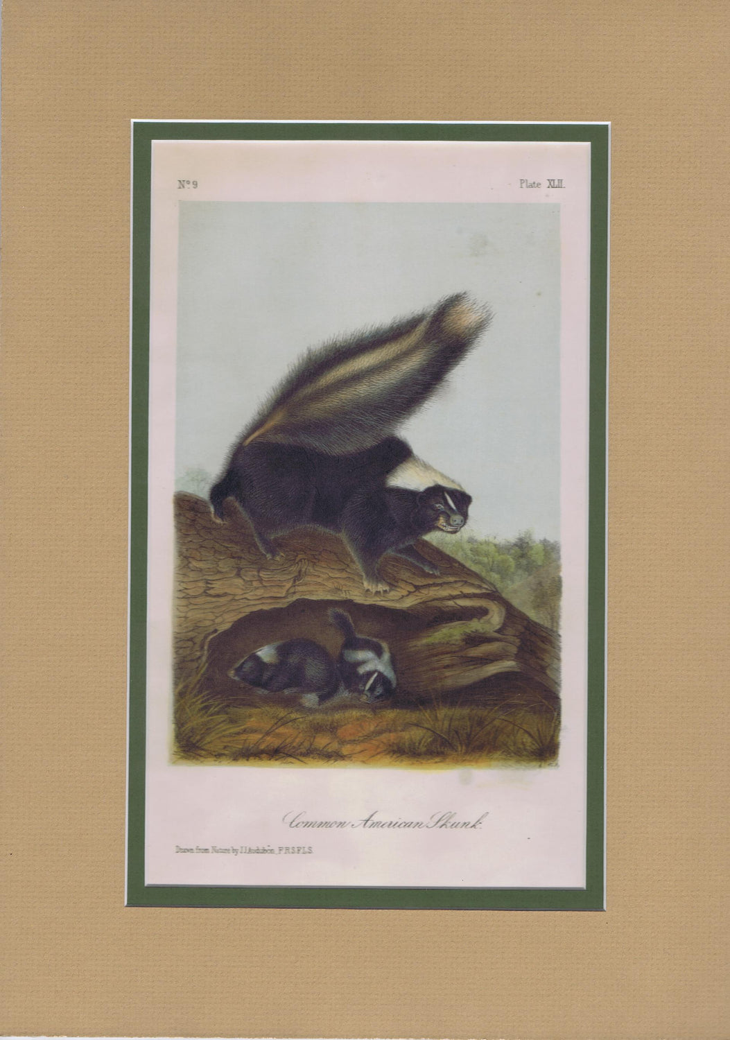 Original Audubon Octavo Quadruped Matted, Common American Skunk, plate 42