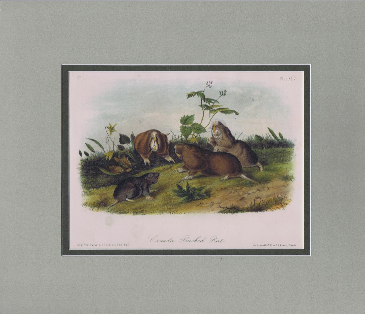 Original Audubon Octavo Quadruped Matted, Canada Pouched Rat, plate 44