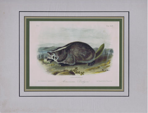 Original Audubon Octavo Quadruped Matted, American Badger, plate 47