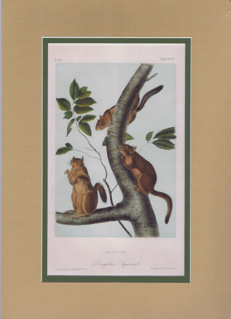 Original Audubon Octavo Quadruped Matted, Douglass Squirrel, plate 48
