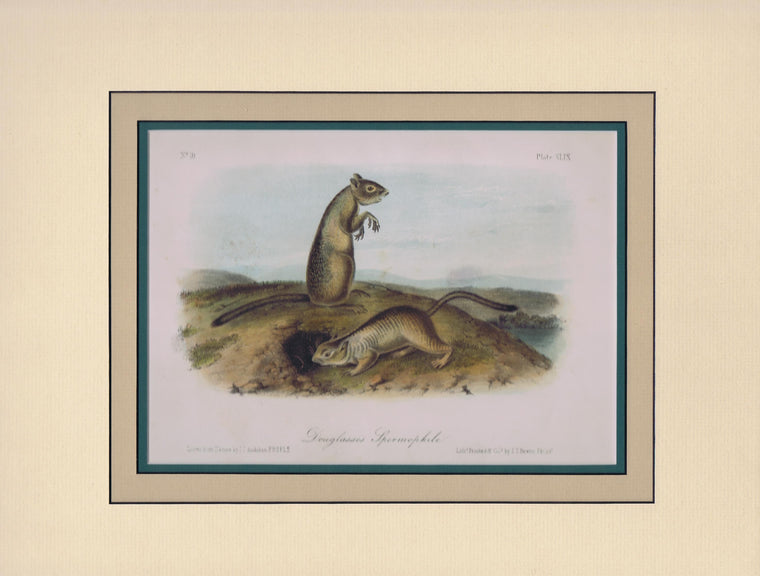 Original Audubon Octavo Quadruped Matted, Douglass Spermophile, plate 49