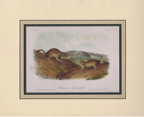 Original Audubon Octavo Quadruped Matted, Richardson's Spermophile, plate 50