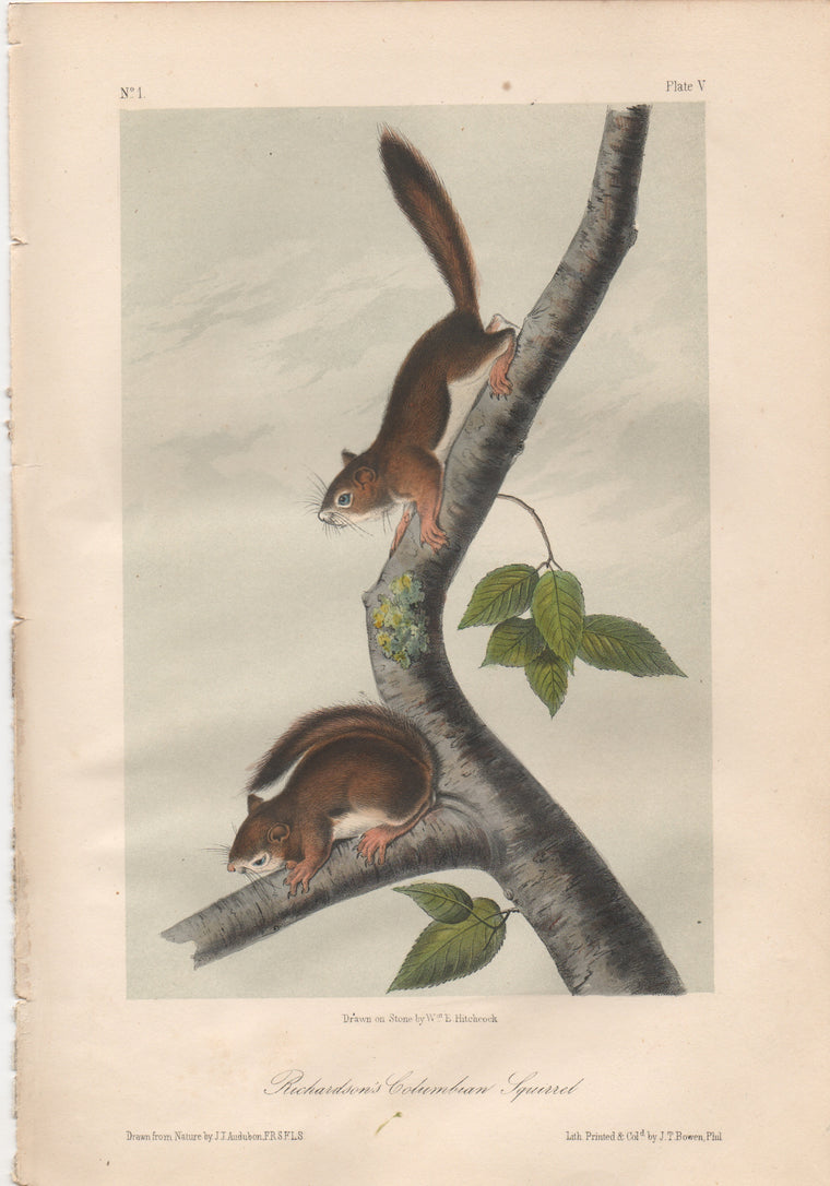 Audubon Original Octavo Mammal, Richardson's Columbian Squirrel, plate 5