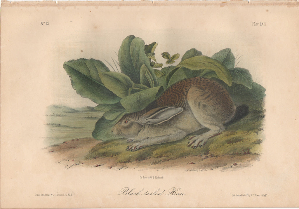 Audubon Original Octavo Mammal, Black-tailed Hare or Fisher plate 63