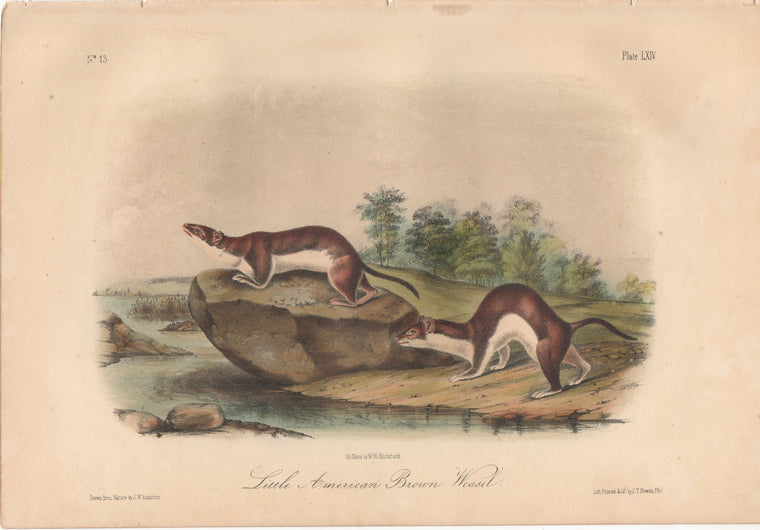Audubon Original Octavo Mammal, American Brown Weasel or Fisher plate 64