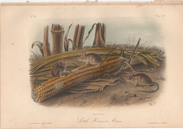 Audubon Original Octavo Mammal, Little Harvest Mouse plate 65