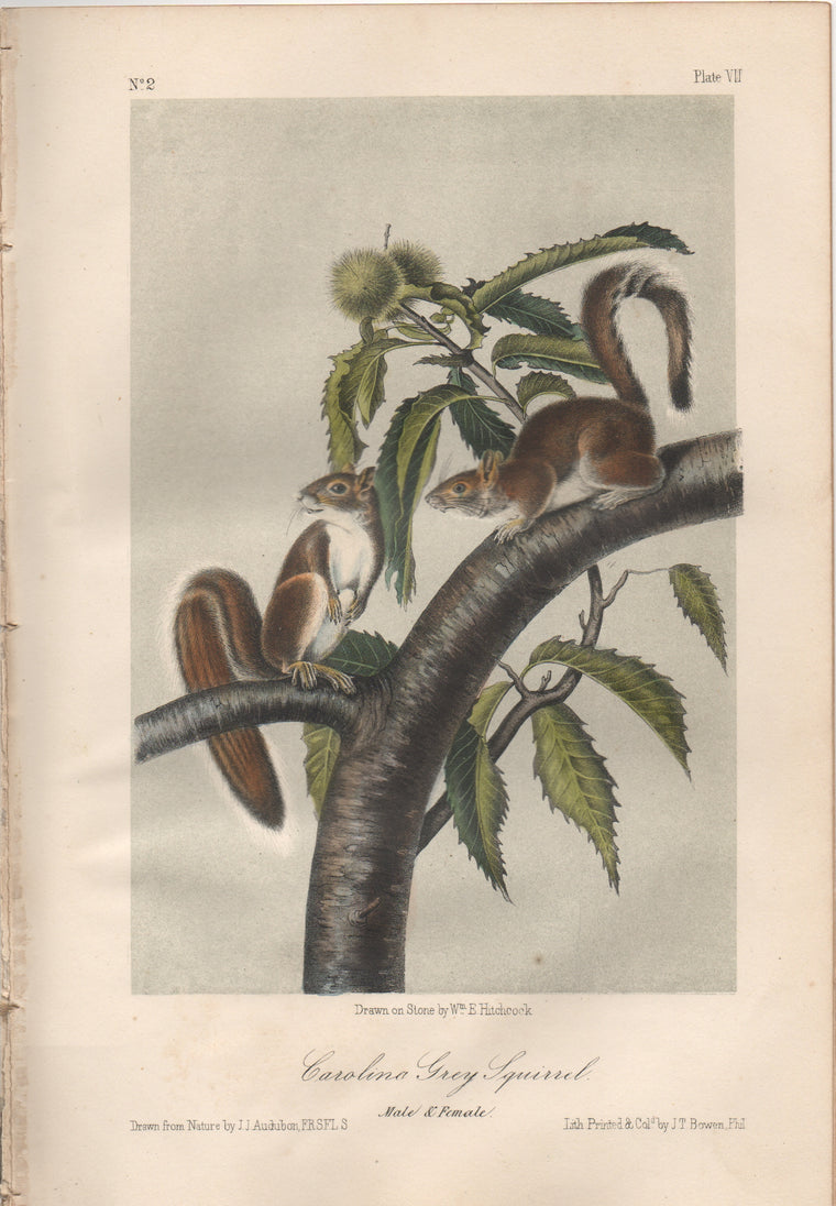 Audubon Original Octavo Mammal, Carolina Gray Squirrel, plate 7