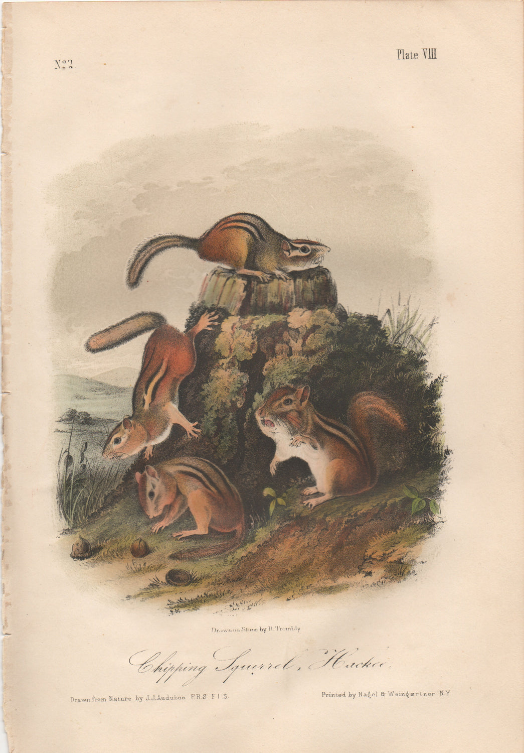 Audubon Original Octavo Mammal, Chipping Squirrel, plate 8