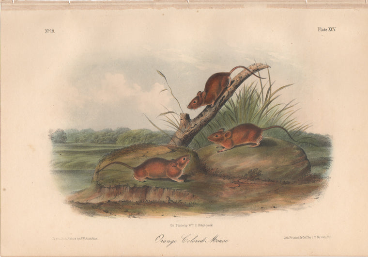 Audubon Original Octavo Mammal, Orange Colored Mouse plate 95