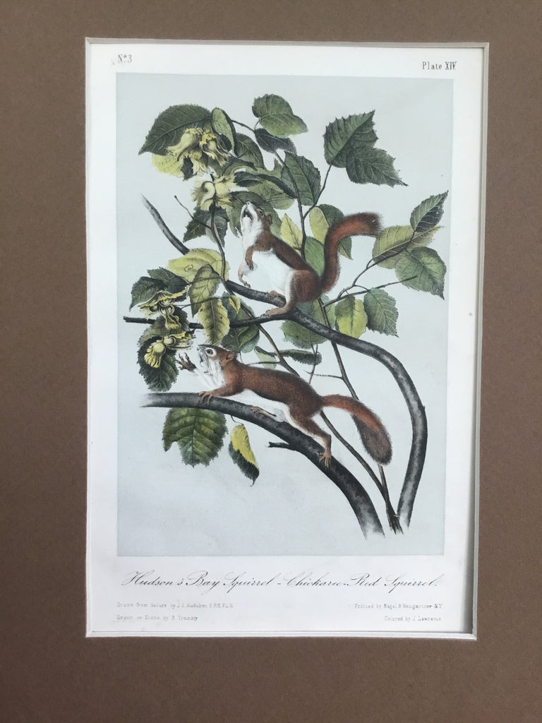 Audubon Original Octavo Quadruped 14, Hudson's Bay Squirrel