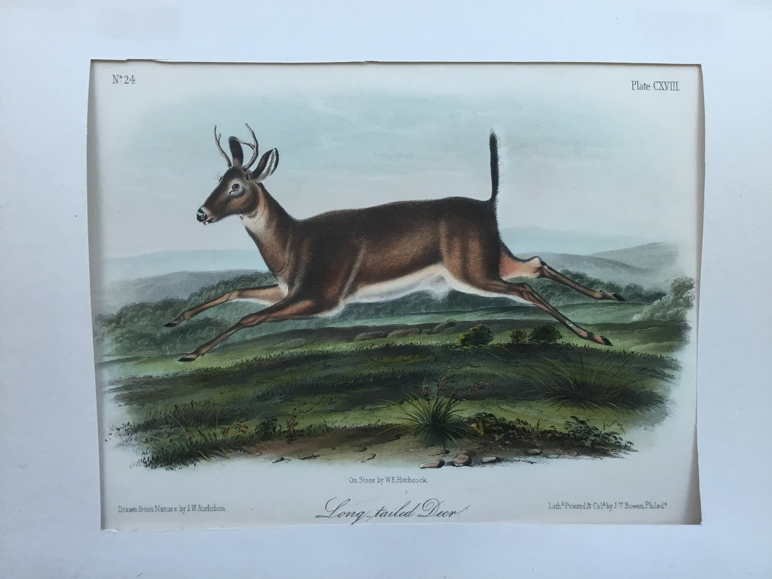 Audubon Original Octavo Quadruped 118, Long-tailed Deer