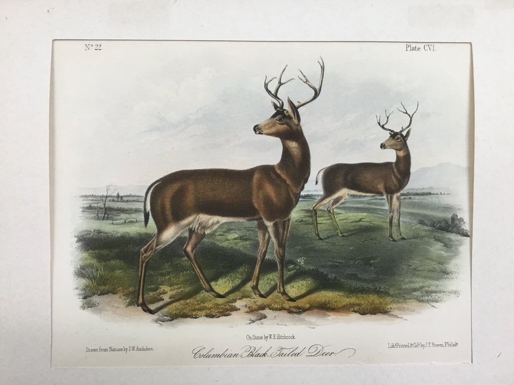 Audubon Original Octavo Quadruped 106, Columbian Black-tailed Deer