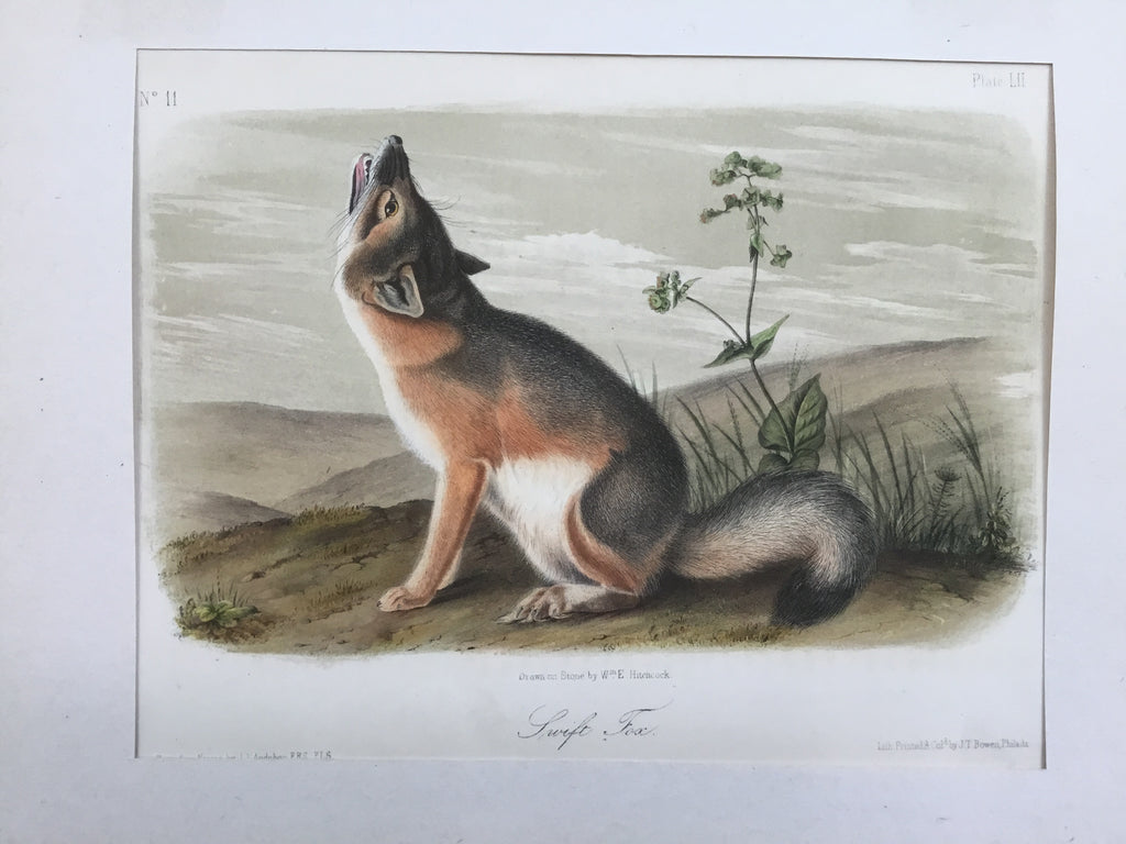Audubon Original Octavo Quadruped 52, Swift Fox