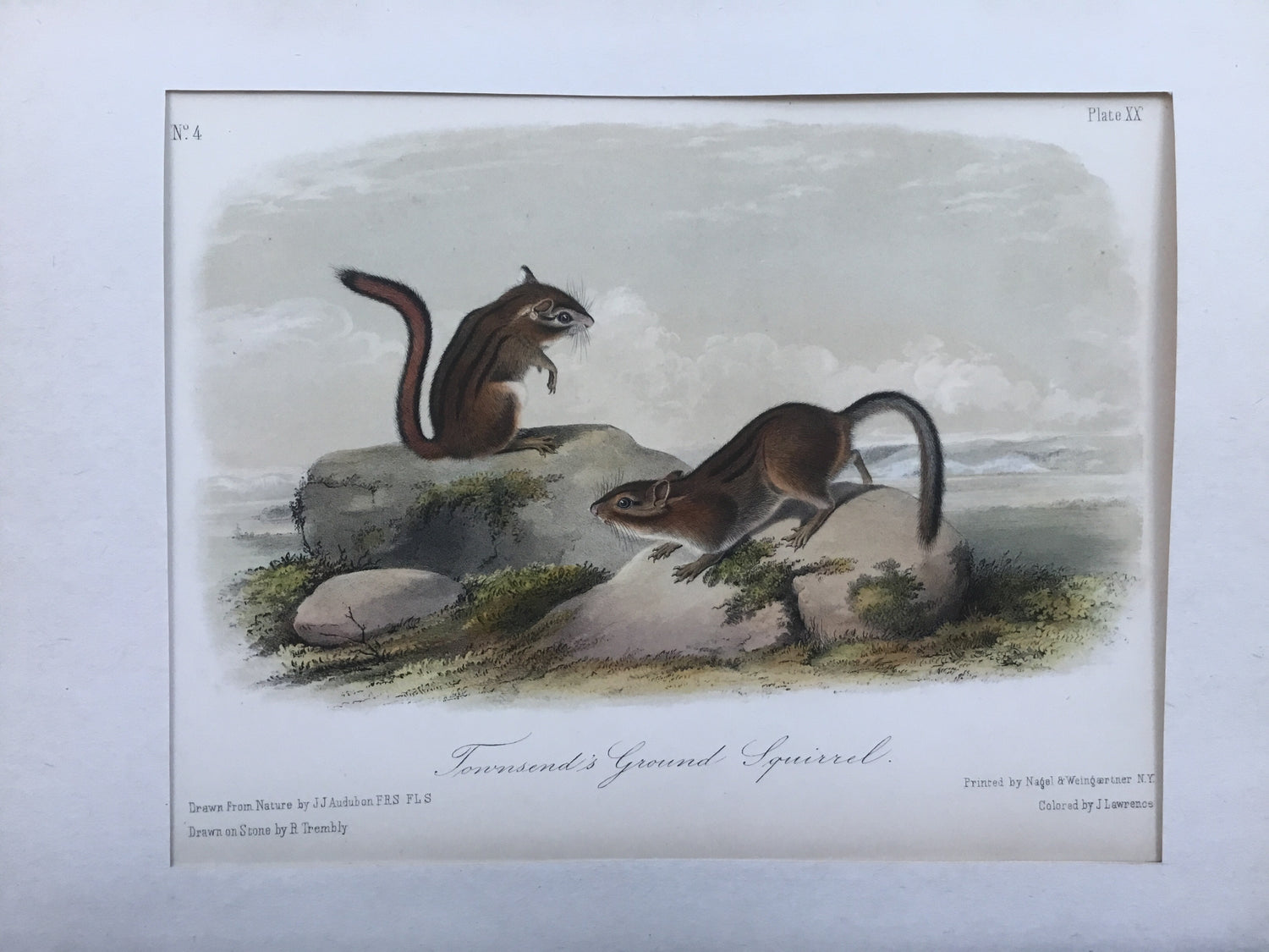 Audubon Original Octavo Quadruped 20, Townsend's Ground Squirrel