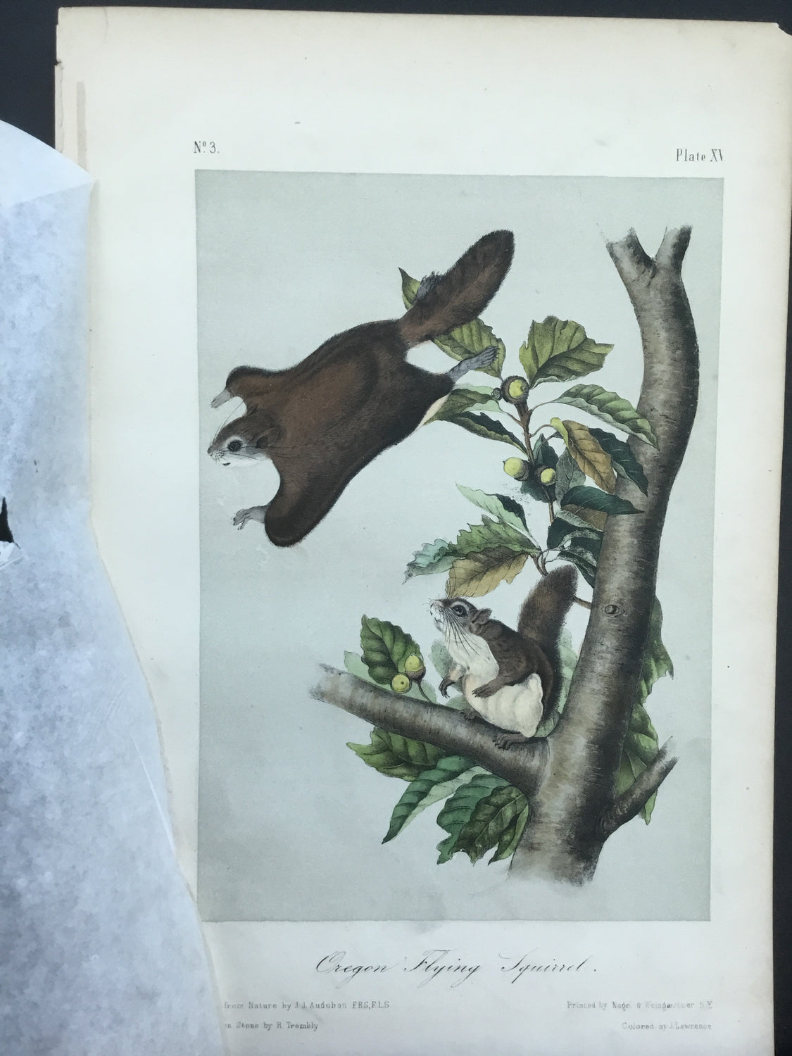 Audubon Original Octavo Quadruped 15, Oregon Flying Squirrel