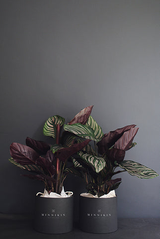 Calathea plant gift box in luxe hat box