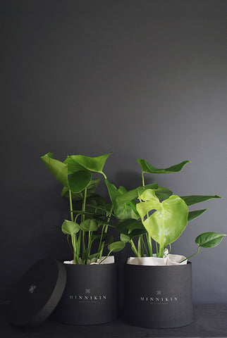 Monstera Plant Gift Box