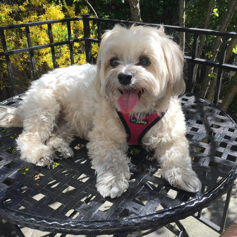 An adult female Morkie is sitting on a metal table outside