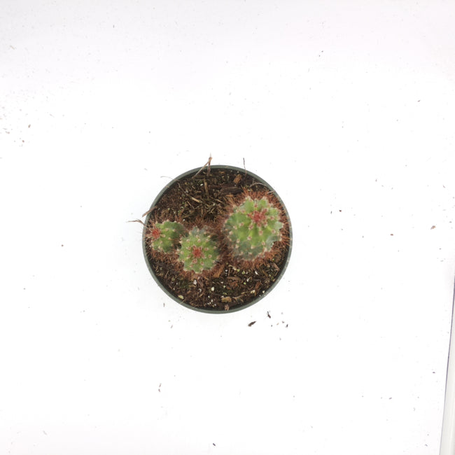 "89920140 Cactus 4"" - Plant Size: 1.77 in"