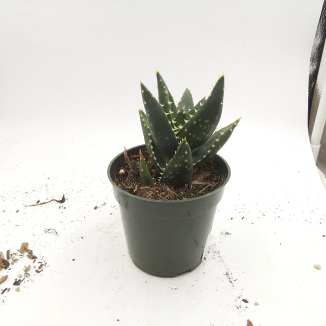 "89920521 Aloe 4"" - Plant Size: 4.47 in"
