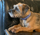 Border Terrier with Union Jack Blue collar sitting on a leather couch