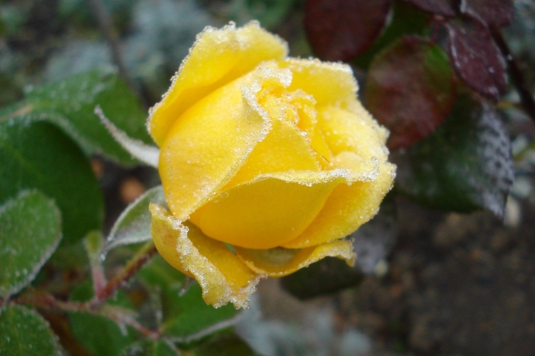 Gul rose under frost