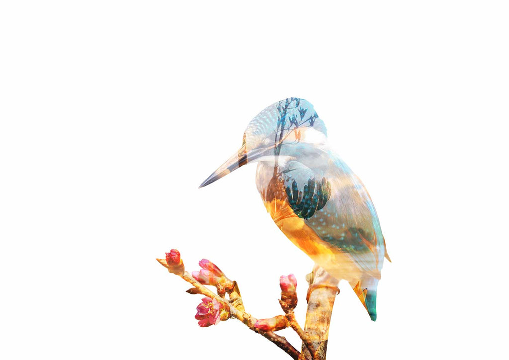Double Exposure Kingfisher