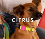 zeedog citrus collar dog