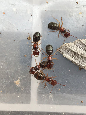 Ant Queen Melophorus sp