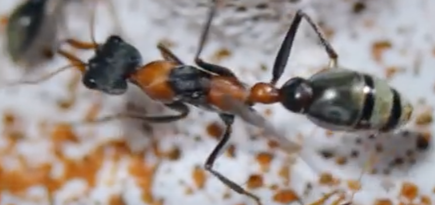 Ant Queen Bullant  Myrmecia  Nigrocinta with eggs/larvae