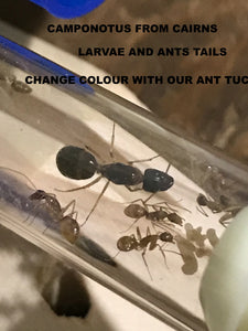 Ant Queen Camponotus from Cairns sp