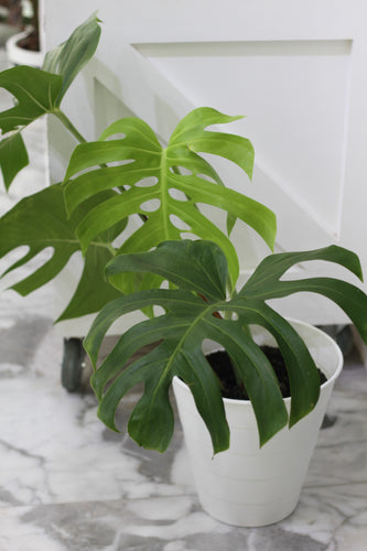 Philo Monstera Deliciosa