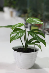 Monstera mini (philodendron tetrasperma)
