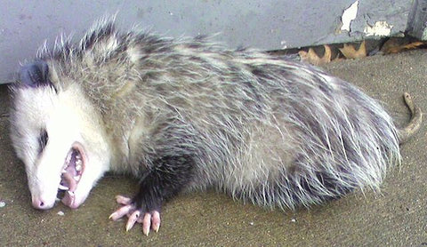 opossum, food, civil war, civil war food, union soldiers, confederate soldiers