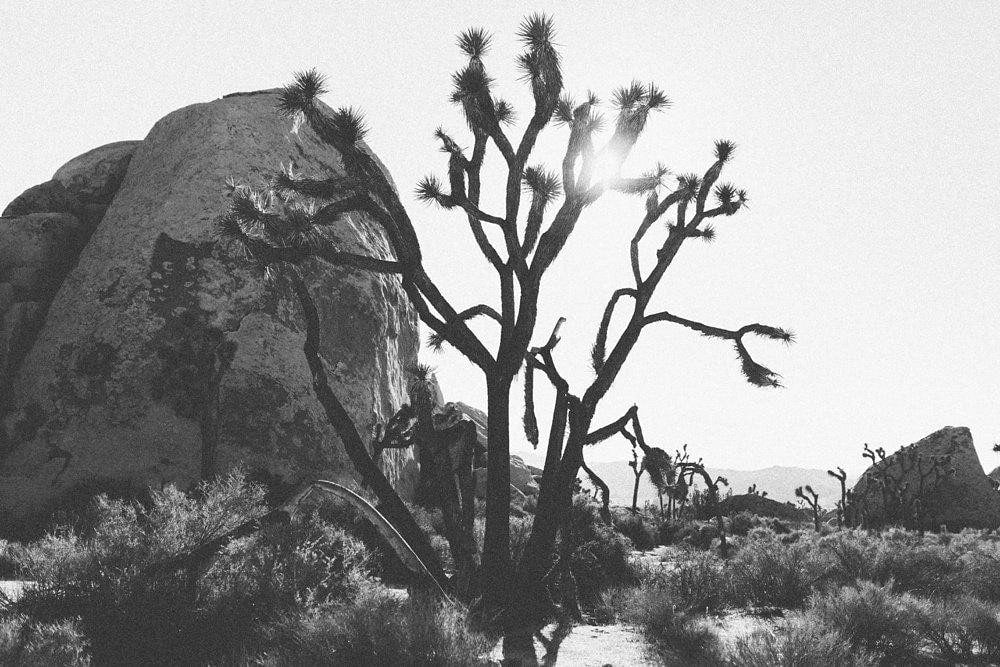 black and white print of a large joshua tree
