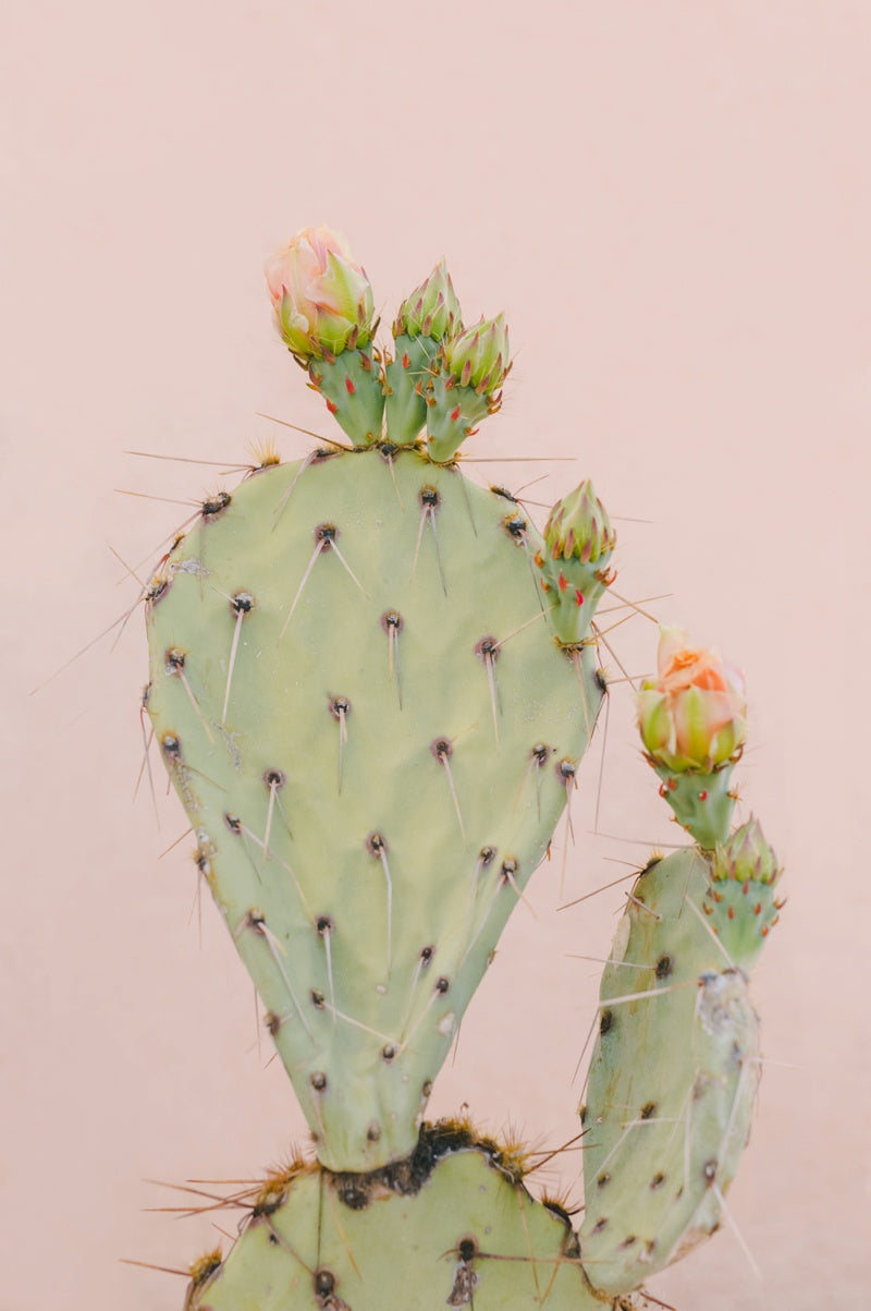 peach prickly pear