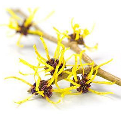 Key Benefits Of Witch Hazel In Your Skin Care Routine