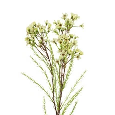 an artificial cream waxflower silk flower spray