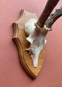 Side profile of large roe horns on wood plaque
