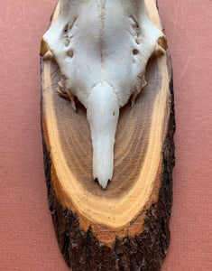 Close up of Roe Horns on Tree Plaque