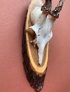 Roe Horns on Tree Plaque